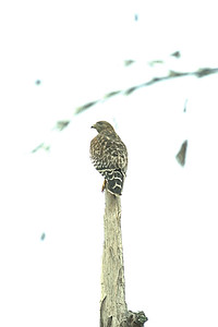 Accipitridae -  Buteo lineatus - Red-shouldered Hawk