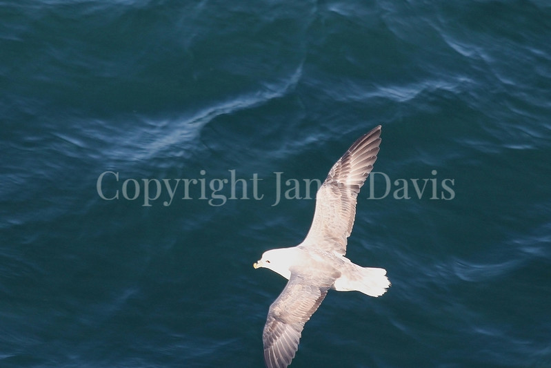 Fulmarus glacialis - Northern fulmar 4