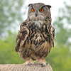 Long-eared Owl (?)