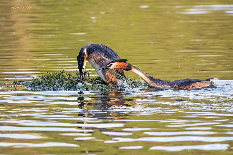 Great-Crested Grebes - The First Egg / Чомги - Первое яйцо