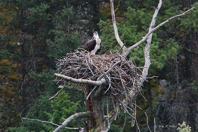 Osprey Chick High Above the River