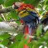 Ara macao – Scarlet macaw 2