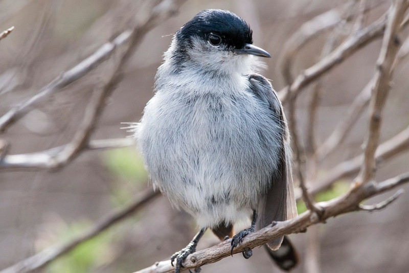Proud California Gnatcatcher dad.