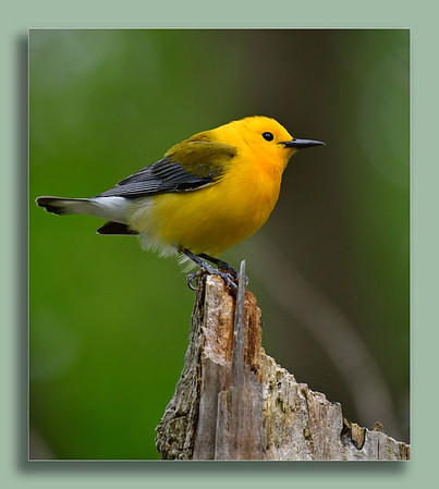 Prothonotary Warbler on top of the world