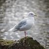 Iceland Gull / Bjartmáfur (Larus glaucoides)