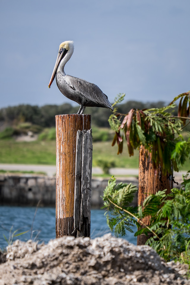 Pelican Posing on Post