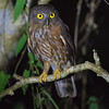 Andaman Hawk Owl