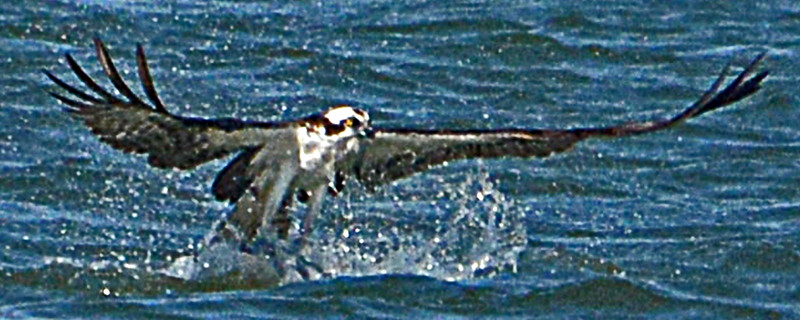 OSPREY SURFACIS WITH ITS FRESH CATCH, AN SEA CATFISH