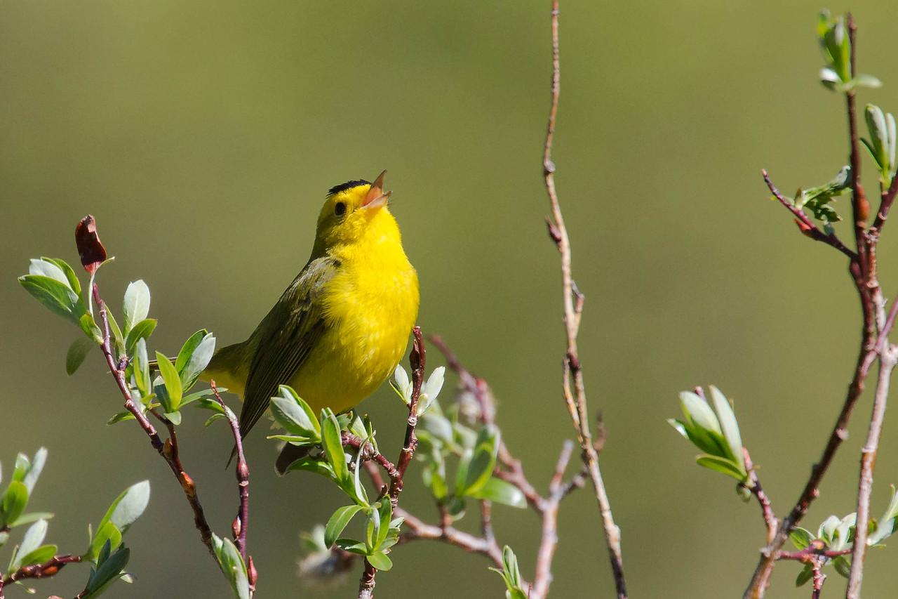 IMAGE: https://photos.smugmug.com/Birds/i-q5zNwxh/0/1c2f5f02/X2/AO0O7681-X2.jpg