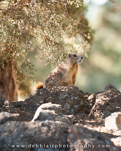 Marmot - Rock chuck 2