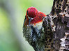 Prunin,; Red Breasted Sapsucker