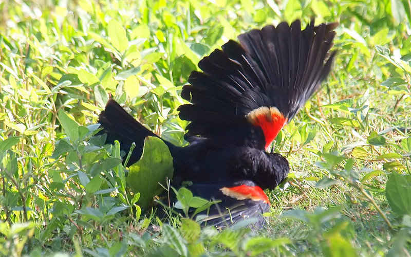 Red-winged Blackbird Death Match 15