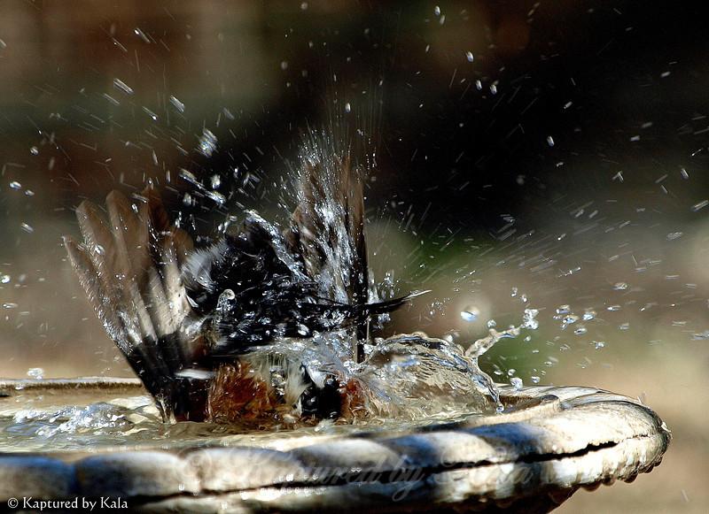 My Male Robin Goes All in When He Has a Bath