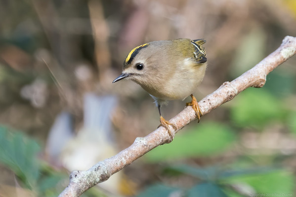 Goldcrest at Woolhampton 9 - 11th November2019