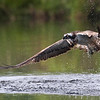 An Osprey fishes on a Scottish loch. Unfortunately this guy didn't get the fish!