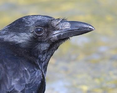 Carrion Crow up Close
