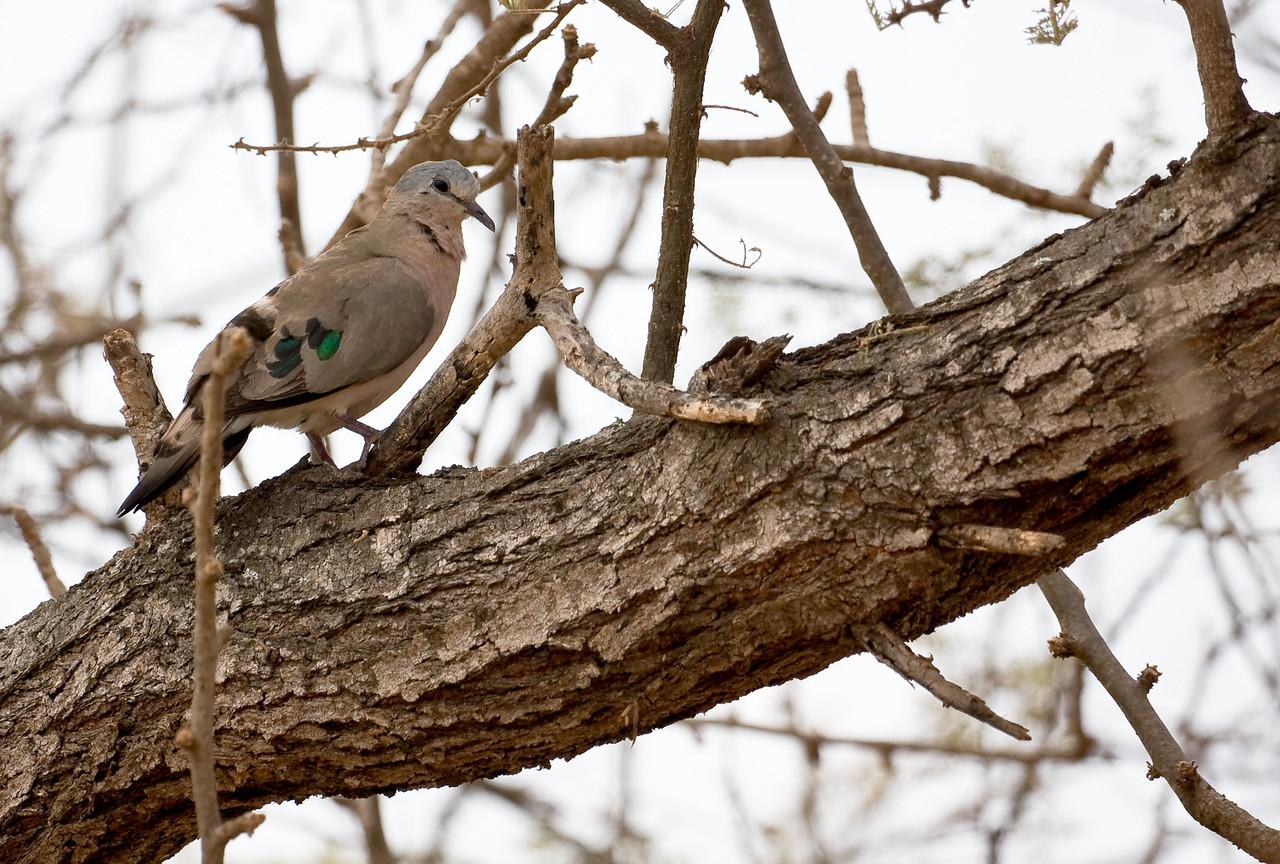 Emerald-Spotted Wood Dove (Turtur chalcospilos).