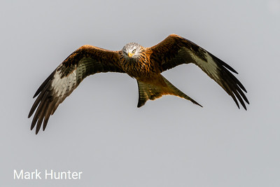 Hovering Red Kite