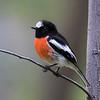 Scarlet Robin,  male_6821