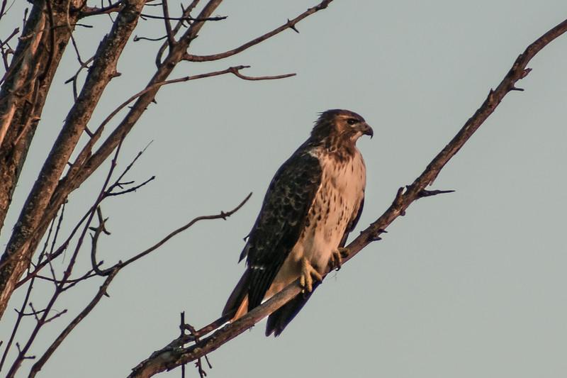 Hawk - Grand Chevalle Parkway Chaska, MN