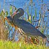 Great Blue Heron with its fresh catch.