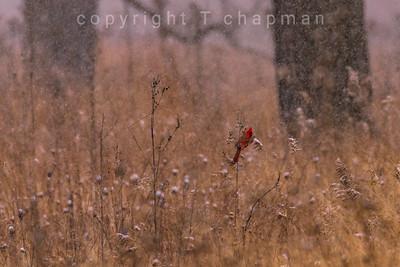Hardy Cardinal