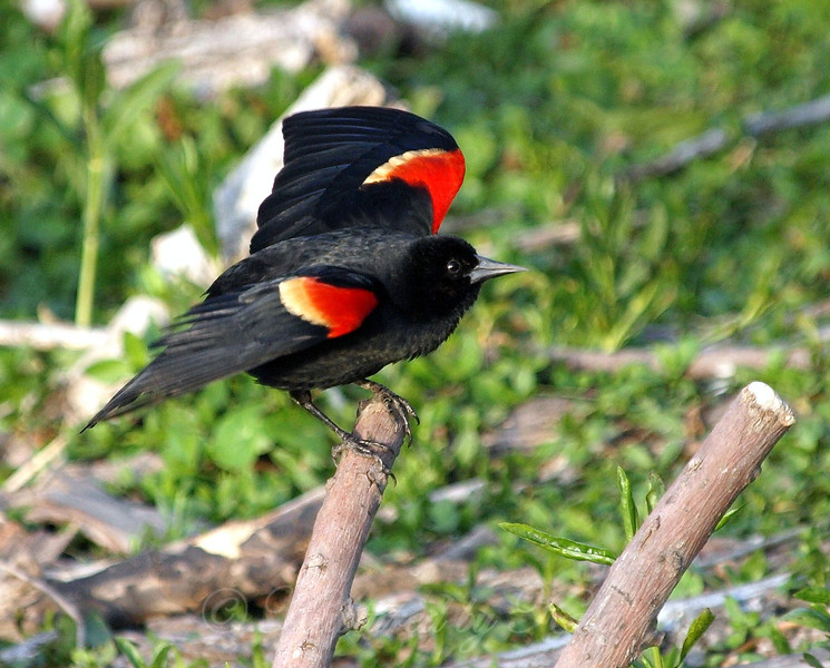 Male Red-winged Blackbird at Dusk