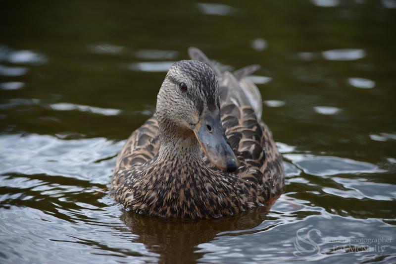 Female Mallard Duck Picture