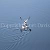 Fulmarus glacialis - Northern fulmar 10