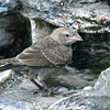 Older Cowbird Baby At The Fountain Grotto