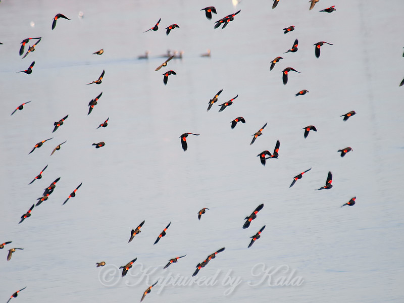 A Flock Of Red-winged Blackbirds