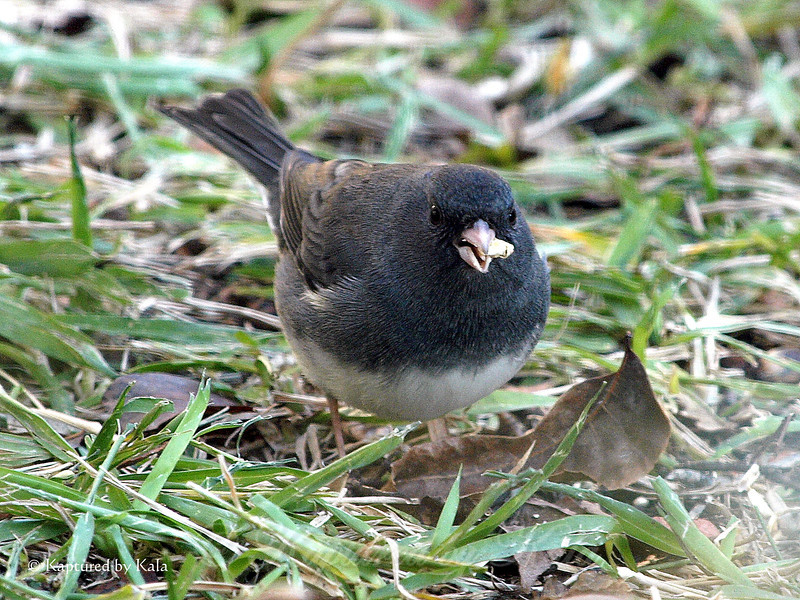 Male Junco Enjoying a Bit of Corn for Breakfast