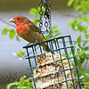 Juvenile Male Summer Tanager