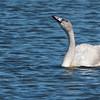 Trumpeter Swan, juvenile