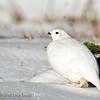 White-tailed Ptarmigan on Green