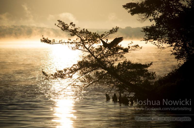 Heron landing in a tree at sunrise.