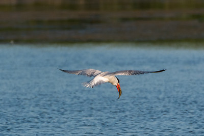 Caspian Tern holding fish in bill