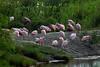 Roseate Spoonbill (Platalea ajaja). Near Shoveler Pond, Anahuac National Wildlife Refuge, Texas