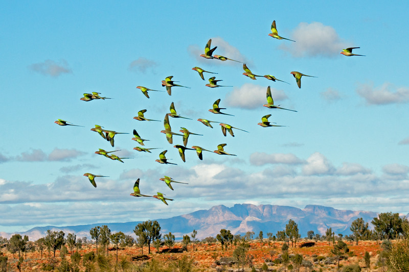Princess Parrot flight
