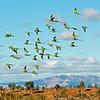 Princess Parrot flight