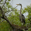 Great Blue Heron on nest, Central Florida