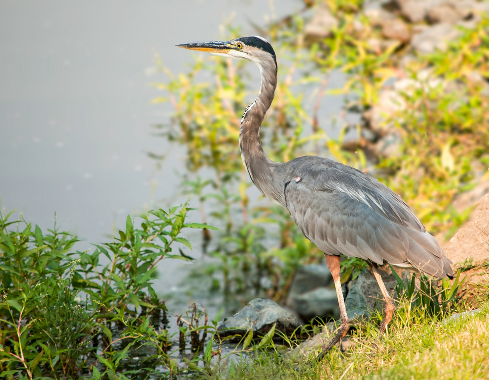 Henry the Heron