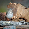 Gray-cheeked Thrush - Cape Sable Island, Nova Scotia