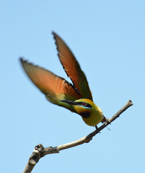 Rainbow Bee Eater.<br /> Gold Coast Spit,<br /> Queensland