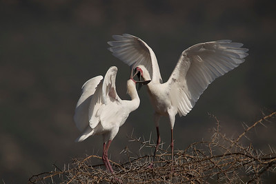 Spoonbills fighting for territory