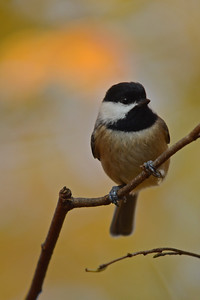 Chickadee Among Fall Leaves