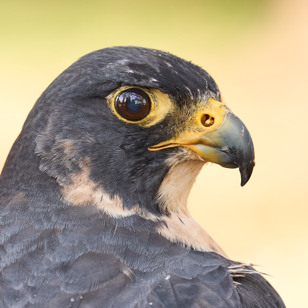 Peregrine Falcon portrait