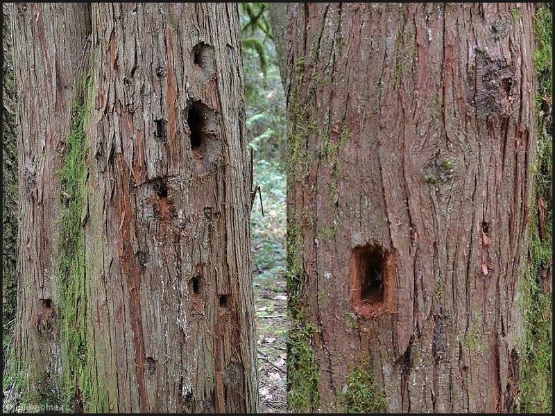 Pileated Woodpecker Holes