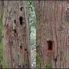 Pileated Woodpecker Holes