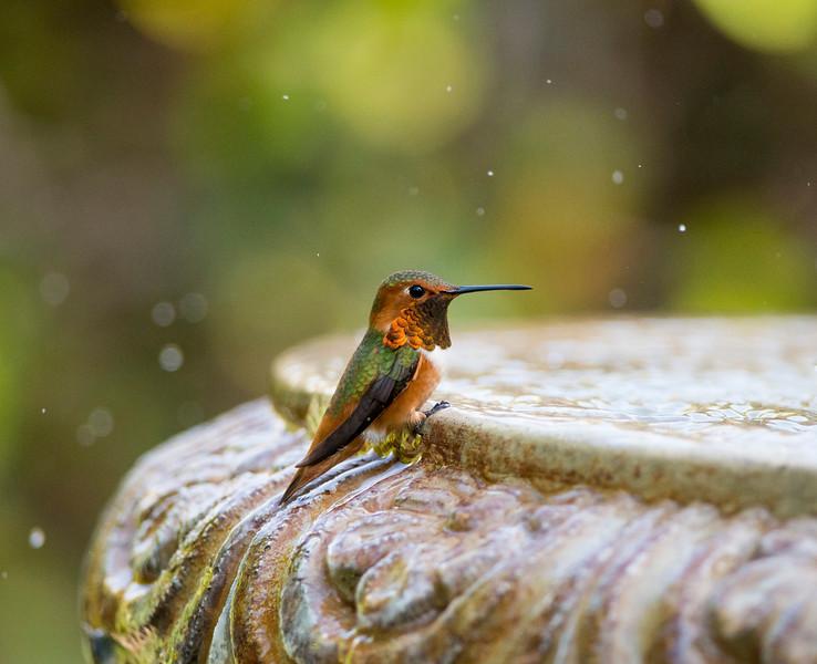 At the fountain - Allen's Hummingbird